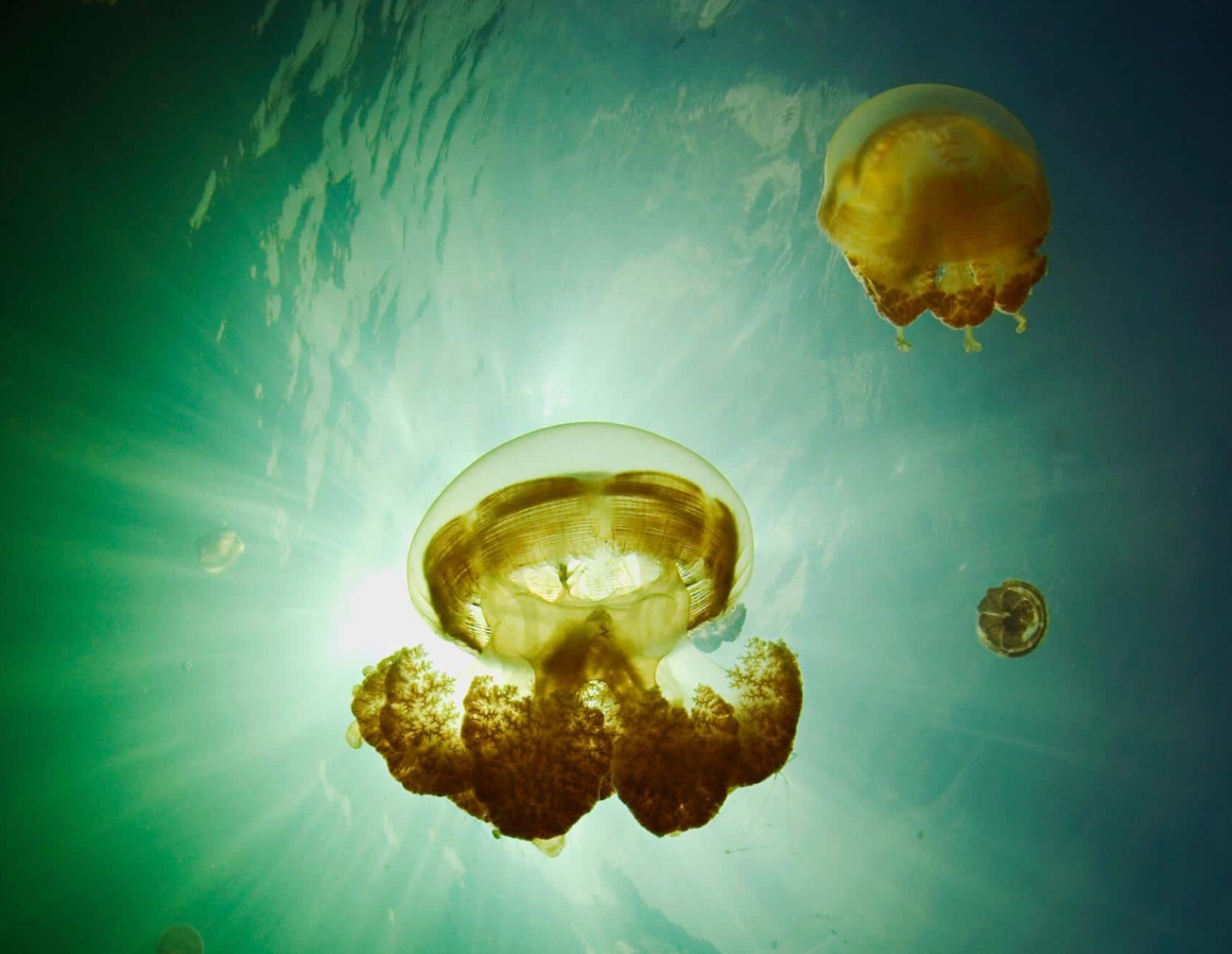 Staying Gold: The Jellyfish who Survived Climate Change